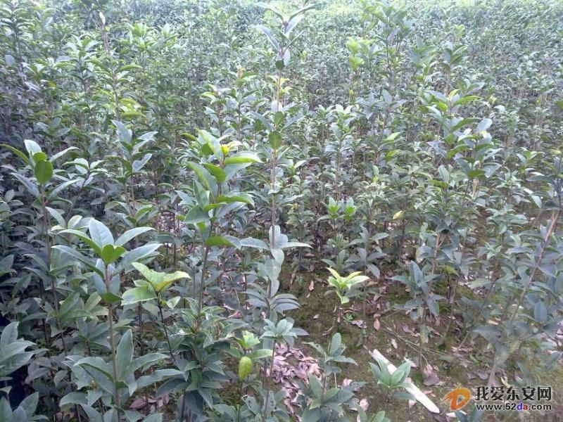 低价出售优质香樟,丹桂(开红花)树苗 - 『分类信